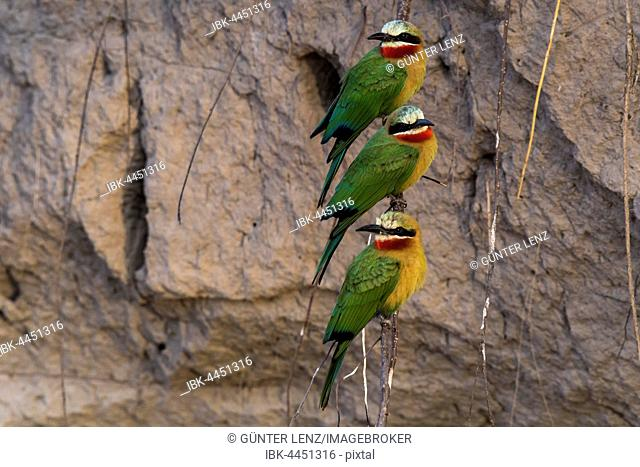 White-fronted bee-eater (Merops bullockoides) in front of nesting wall, Chobe River, Chobe National Park, Botswana