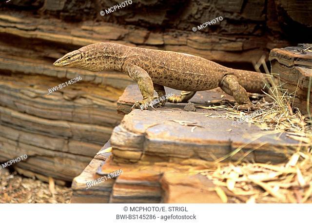 Perentie, monitor lizard, goanna (Varanus giganteus), perenty in Dales Gorge, Australia, Karijini National Park, Hamersley Range