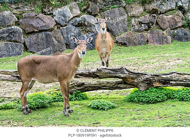 Nilgai / blue bull (Boselaphus tragocamelus) largest Asian antelope and is endemic to the India