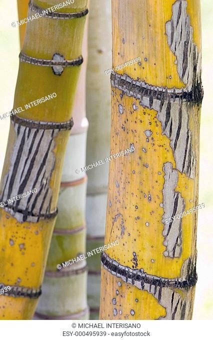 Close-up detail of bamboo stalks, Kauai, Hawaii, USA