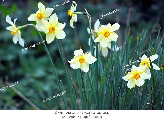 Daffodils, or Narcissies, growing in a garden in County Westmeath, Ireland