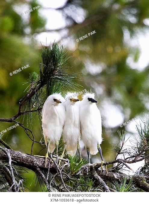 Snowy Egret Egretta thula chicks huddling together for warmth near San Francisco, California  This colony of egrets chose to mate