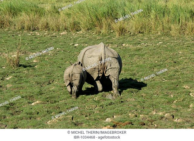 Indian Rhinoceros or Great One-horned Rhinoceros (Rhinoceros unicornis) with young coming through elephant grass, endangered species, Kaziranga National Park