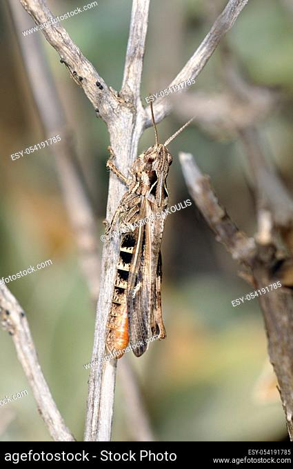 Gomphocerinae, the slant-faced grasshoppers, are a subfamily of grasshoppers, Crete