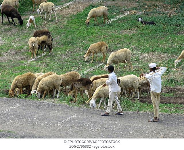 Indian shepherd with flock of sheep