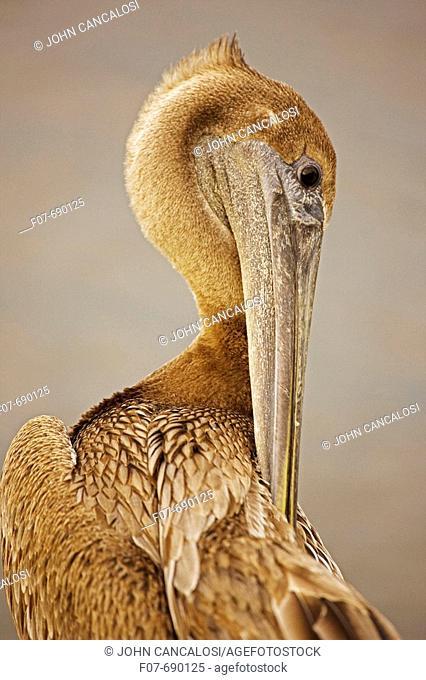 Brown Pelican (Pelecanus occidentalis). Immature. Louisiana. Large dark water bird. Often perches on posts, rocks, boats