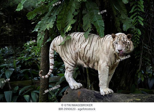 White Bengal Tiger (Panthera tigris tigris), Singapore