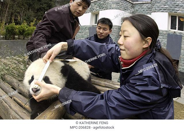 Giant Panda Ailuropoda melanoleuca, endangered, baby having nose measured by researchers at the China Conservation and Research Center for the Giant Panda