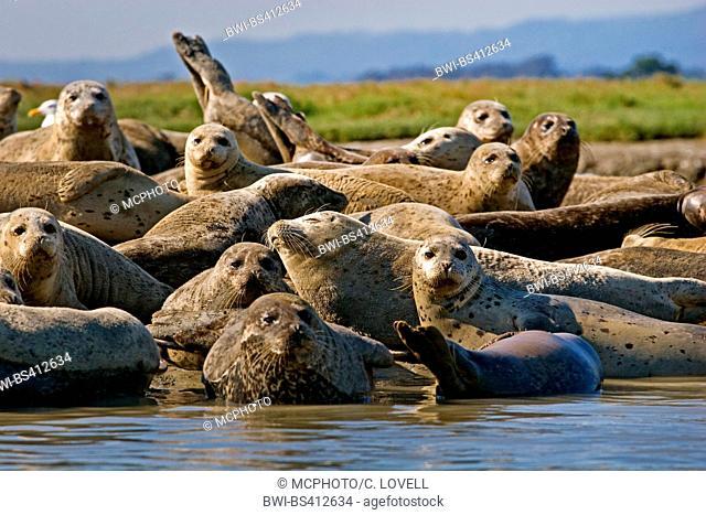 harbor seal, common seal (Phoca vitulina), group on the beach, USA, California, Moss Landing, Elkhorn Slough