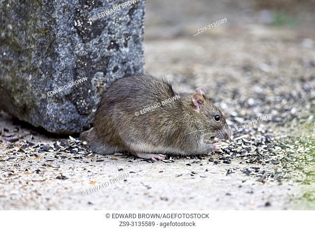 Brown rat (Rattus norvegicus) also known as a Common rat, East Sussex, UK