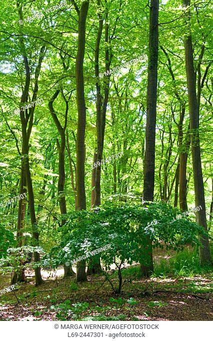 """Nature reserve """"""""Dalbekschlucht"""""""", Schleswig-Hostein, Germany, Europe"""