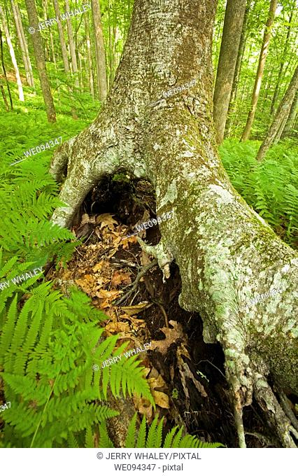 Stilt Tree, Pink Beds Area, Pisgah NF, NC