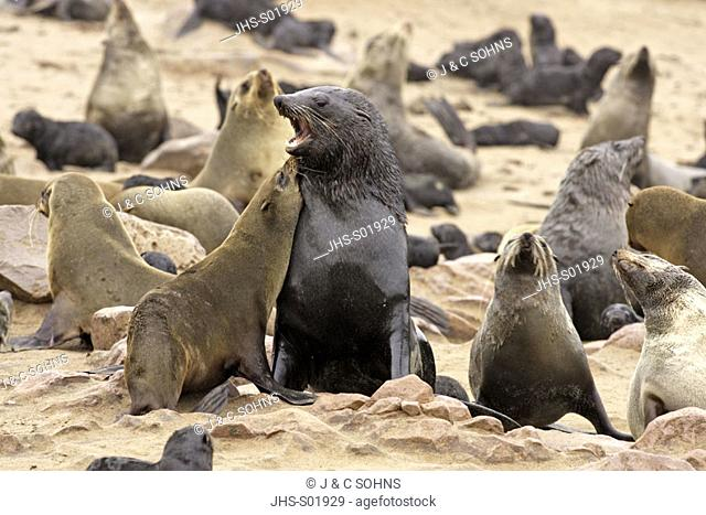 Cape Fur Seal, Arctocephalus pusillus, Cape Cross, Namibia , Africa, adult couple fighting