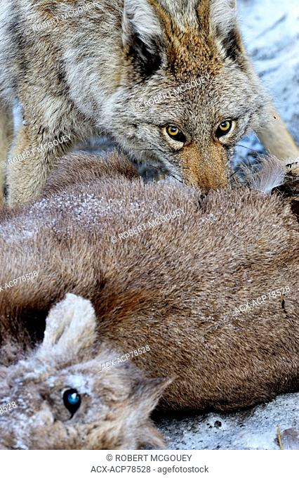 A wild coyote, Canis latrans, feeding on a baby bighorn sheep Ovis canadensis, that it has just killed