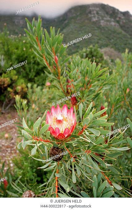 south africa cape town, Kirstenbosch, botanical garden, protea, national flower
