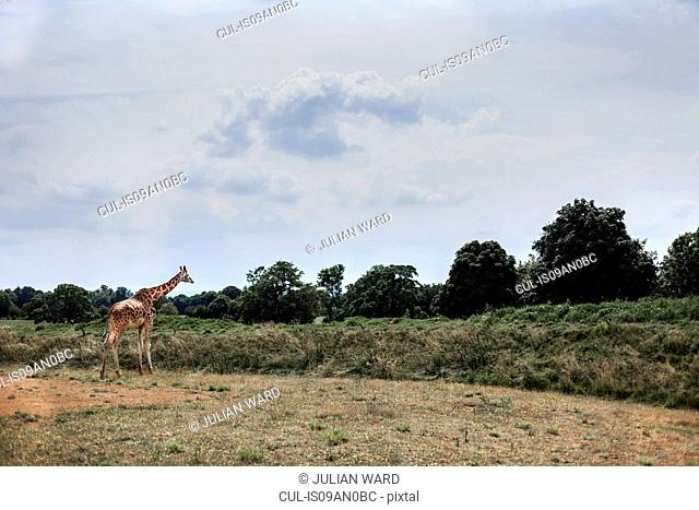 Giraffe in field, Cotswold wildlife park, Burford, Oxfordshire, UK