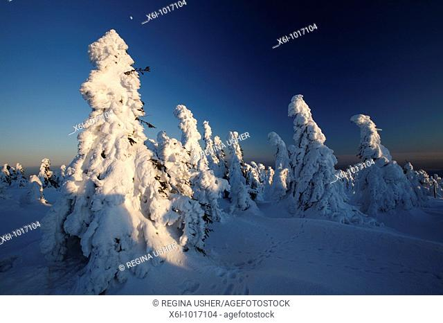 Snow covered Norway Spruce trees, Picea abies, and moon in winter, Brocken mountain, National Park Hochharz, Saxony-Anhalt, Germany