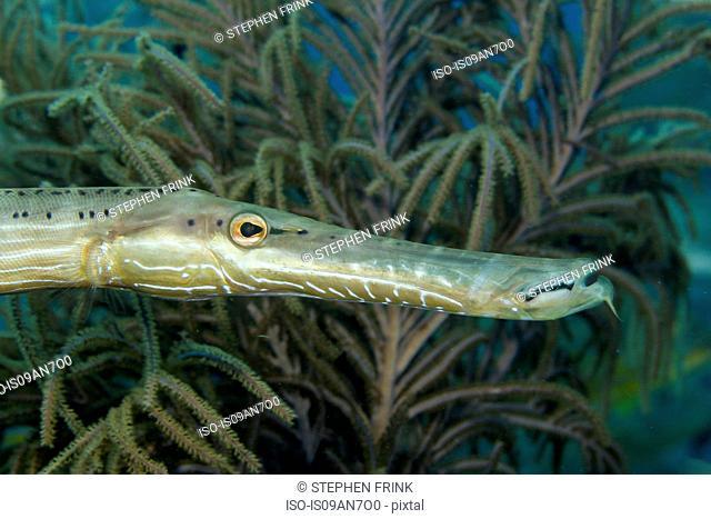 Trumpetfish and Sea Plume