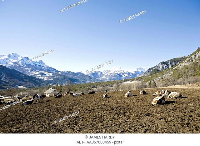 Cattle in mountain pasture