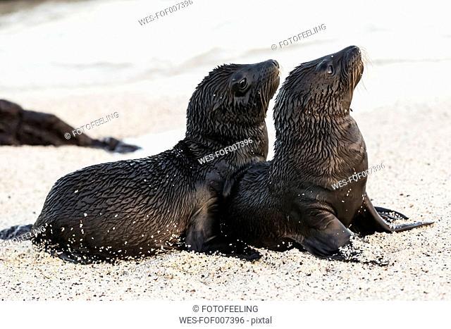 Ecuador, Galapagos Islands, Santa Fe, two young wet sea lions