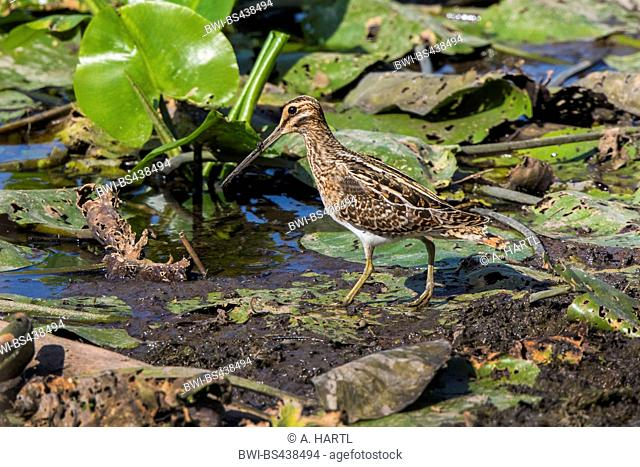 common snipe (Gallinago gallinago), on the feed on leaves of water-lily, Germany, Bavaria, Lake Chiemsee