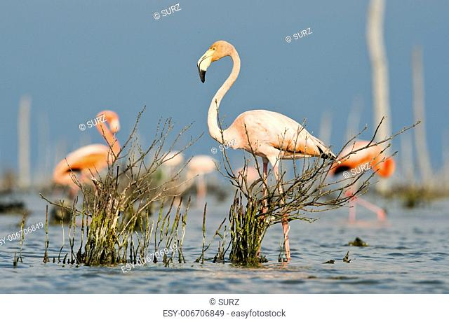 The pink Caribbean flamingo ( Phoenicopterus ruber ruber ) goes on water. In blue twilight the pink flamingo goes on a swamp