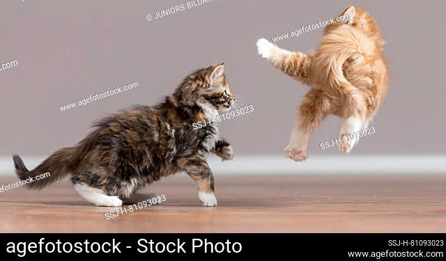 Maine Coon. American Longhair. Two kittens playing on parquet. Germany
