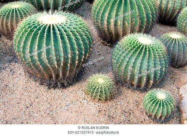 Greater round green cactuses