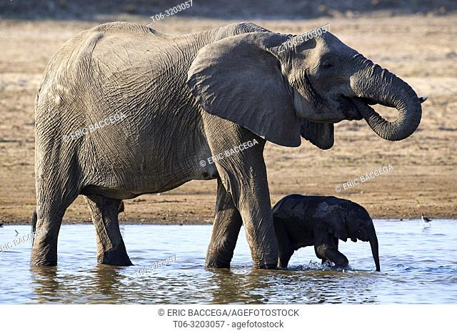 African elephant mother and calf drinking from Luangwa river (Loxodonta africana) South Luangwa National Park, Zambia