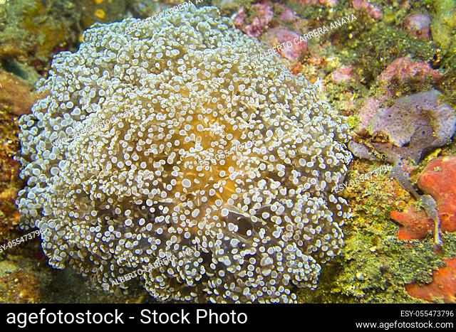 Euphyllia, Hammer Coral, Stony Coral, Branching Coral, Lembeh, North Sulawesi, Indonesia, Asia
