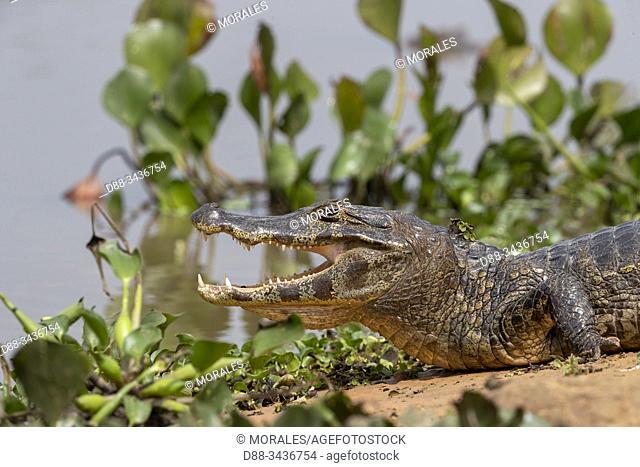 Brazil, Mato Grosso, Pantanal area, Spectacled caiman (Caiman crocodilus),