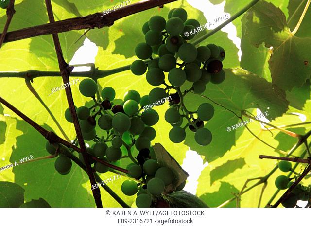 green grapes with sunlit leaves overhead, Monroe County, IN