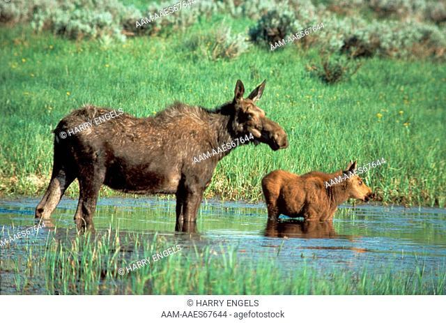 Moose (Alces alces) cow and calf, WY