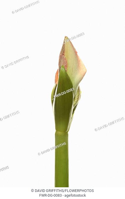 Amaryllis, Amaryllidaceae Hippeastrum, breaking flower head on stem against a pure white background