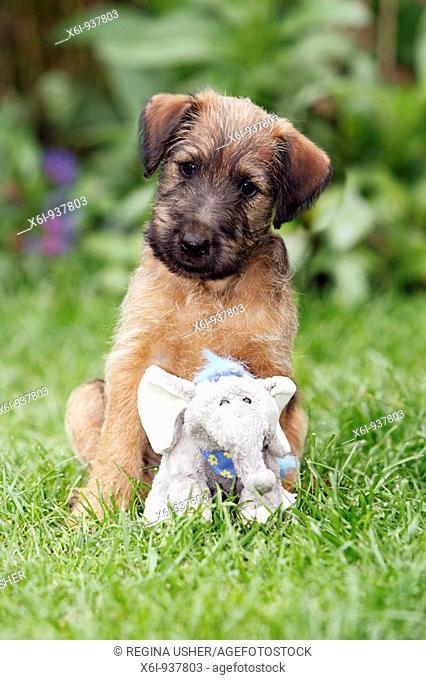 Westfalen Terrier Puppy with cuddly toy in garden