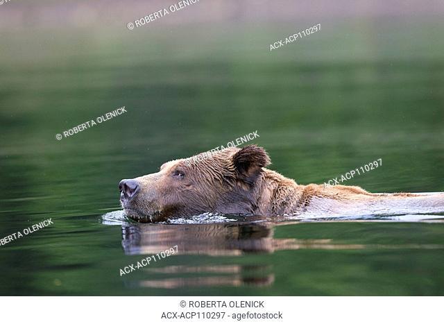 Grizzly bear (Ursus arctos horribilis), large male, swimming, Khutzeymateen Inlet, Khutzeymateen Grizzly Bear Sanctuary, British Columbia, Canada