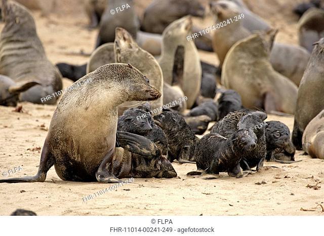 Cape Fur Seal Arctocephalus pusillus adult female with pups in creche on beach, Cape Cross, Namibia