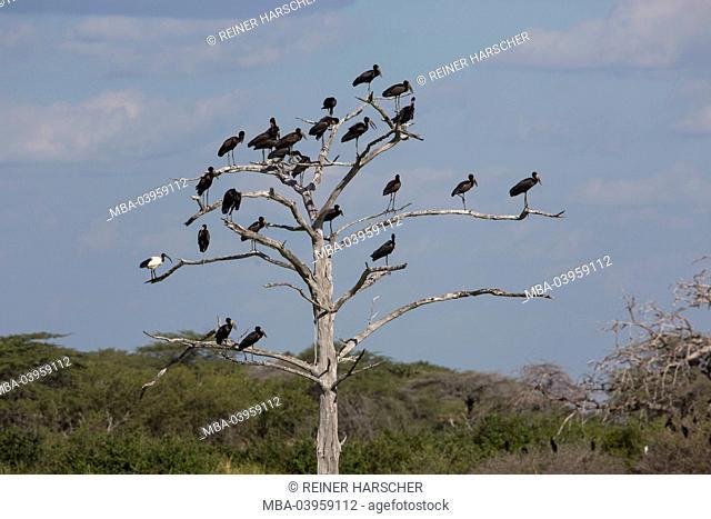 Tanzania, region of Morogoro, Selous Game Reserve, openbill, Anastomus lamelligerus
