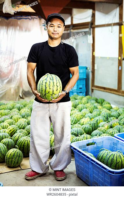 Worker in a greenhouse holding a watermelon