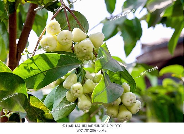 rose apple bengal hanging on tree