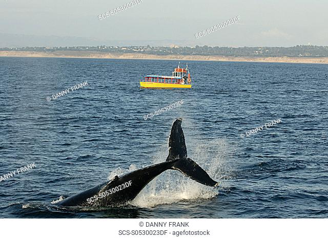 Humpback whale Megaptera novaeangliae tail lob in front of tour boat, fluke, endangered species, Monterey bay national marine sanctuary, California, usa