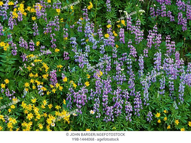Lupine and yellow arnica in summer bloom, near Paradise, Mt  Rainier National Park, Washington, USA