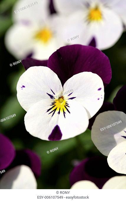 Heartsease (Viola tricolor)