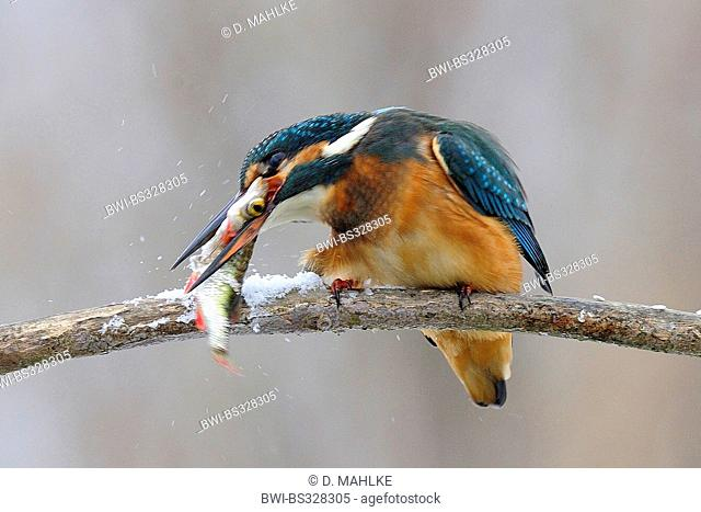 river kingfisher (Alcedo atthis), in winter on branch killing caught rudd in its bill by knocking it onto the branch, Germany, Lower Saxony