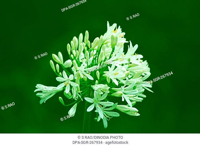 white flower, India, Asia