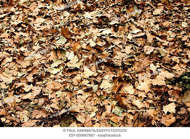Dry brown leaves that fell of trees in the fall autumn