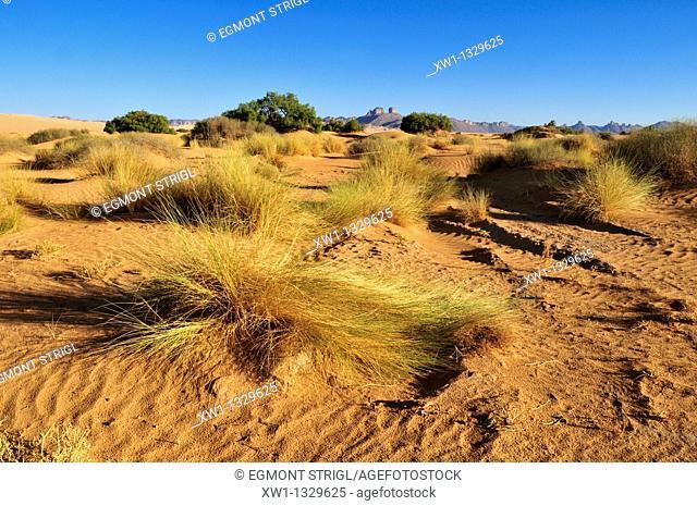 vegetation on sanddunes at Erg Admer, Wilaya Illizi, Algeria, Sahara, North Africa