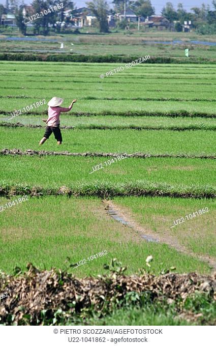 Hoi An (Vietnam): a woman working in a rice field