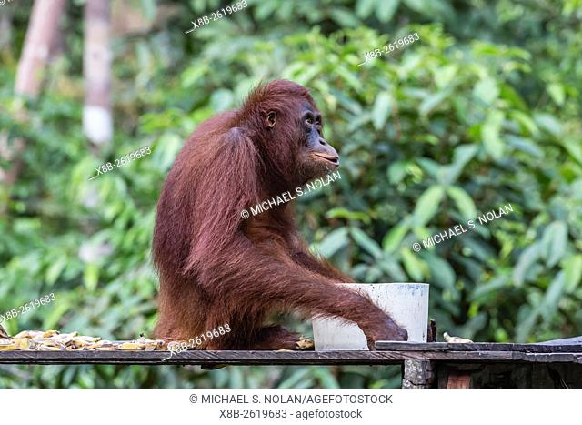 Reintroduced adult orangutan, Pongo pygmaeus, Camp Leakey, Tanjung Puting National Park, Borneo, Indonesia