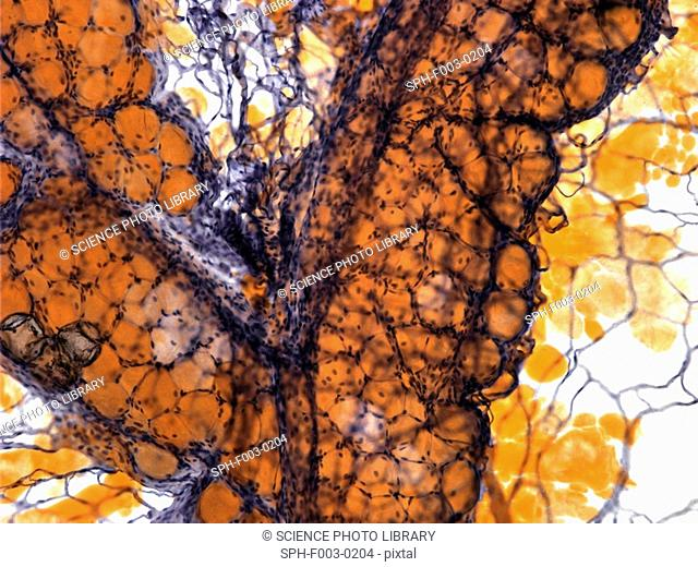 Fat tissue, light micrograph